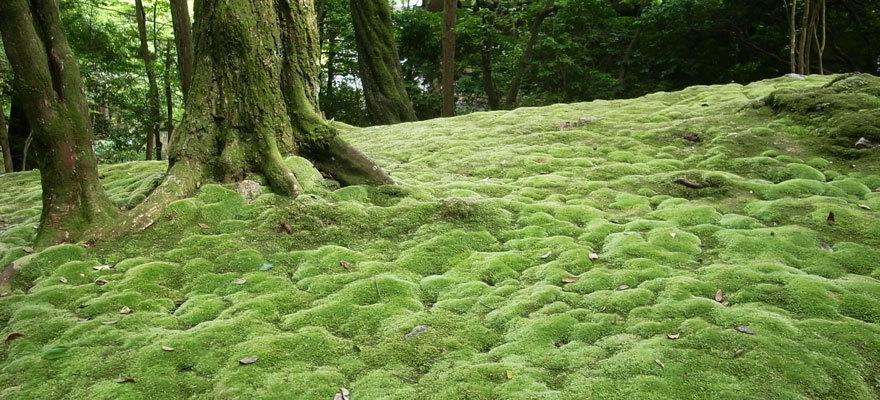 Kyoto moss garden reservations garden inspiration - Moosgarten kyoto ...