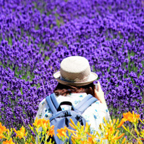 The lavender fields at Farm Tomita: The scenery you should see once in your life