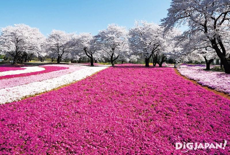芝櫻、藍色琉璃唐草、紫藤花!到日本探訪此生必看絶美花海! 1