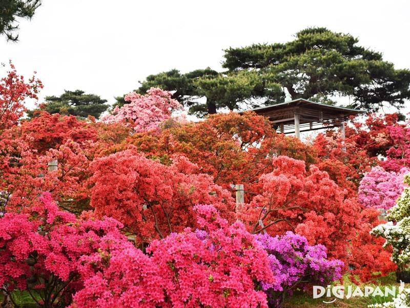 杜鵑花之岡公園杜鵑花滿開