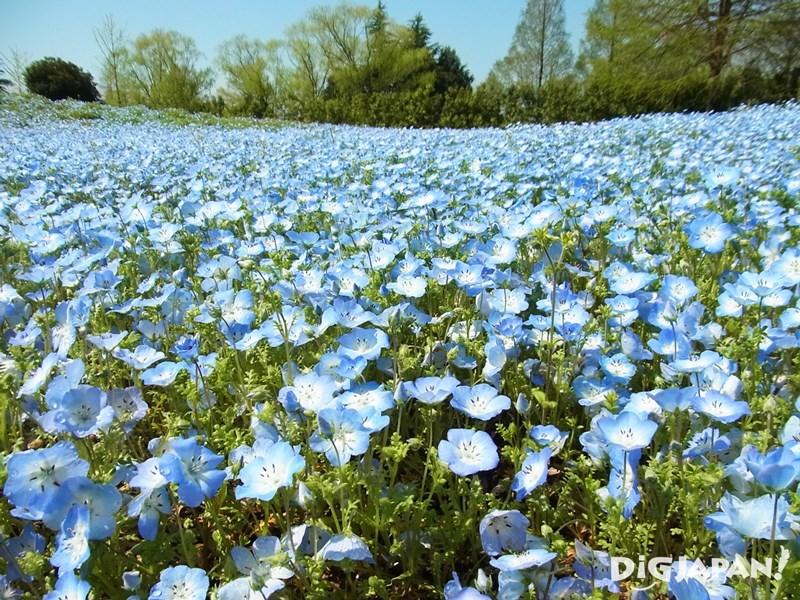 東武寶藏花園藍色琉璃唐草