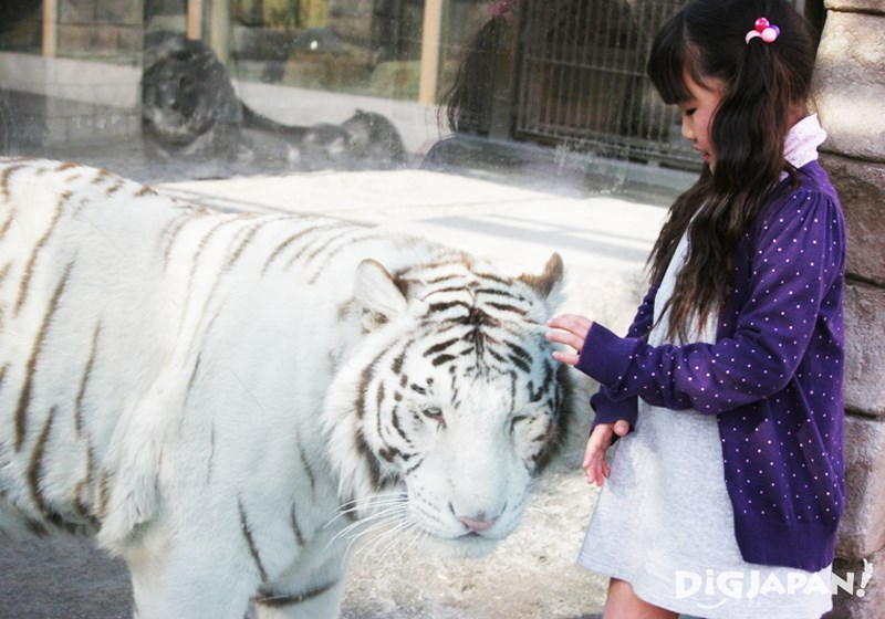 東武動物公園白老虎