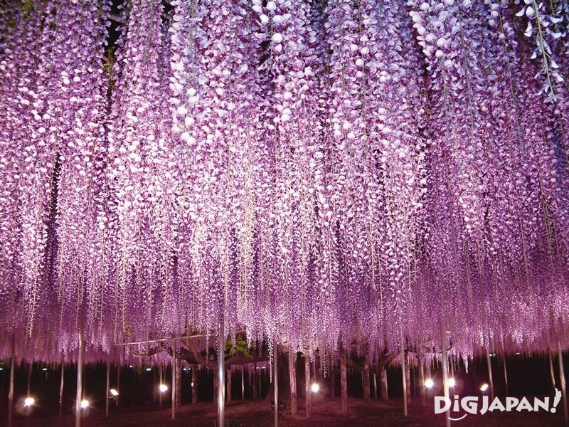 足利花卉公園紫色大藤