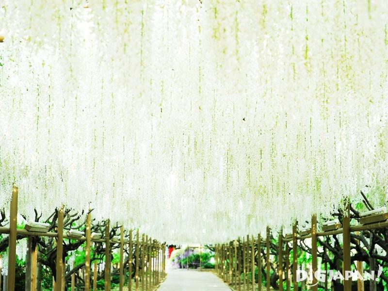 足利花卉公園白藤