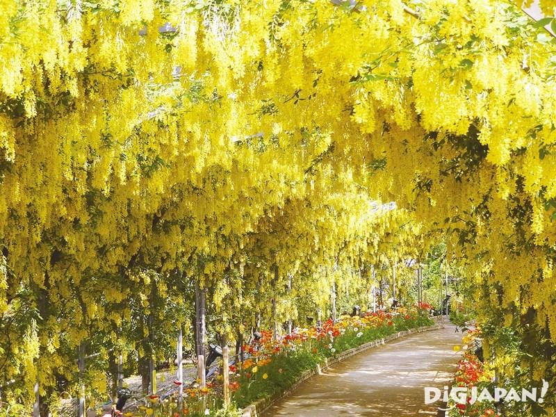 足利花卉公園黃藤