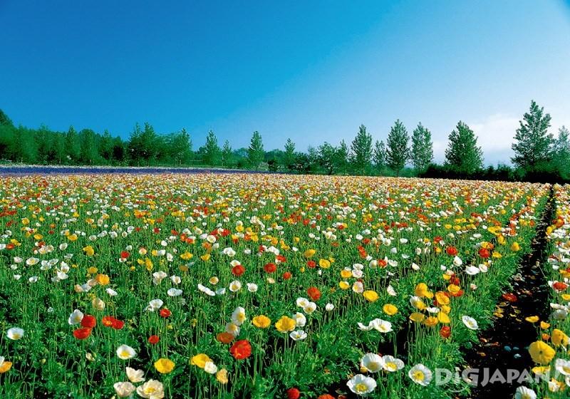 色彩鮮艷的花田