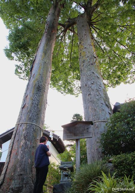 Two gigantic 400-year-old zelkova trees
