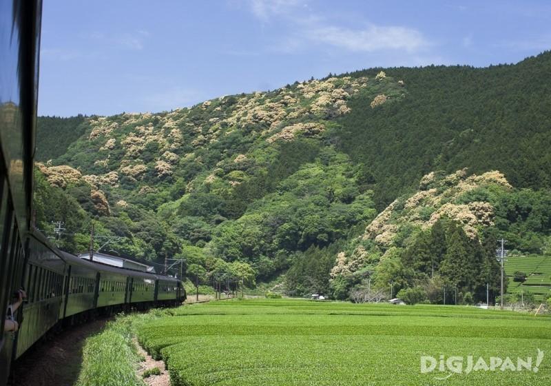 大井川鐵道沿線盡是廣闊茶園