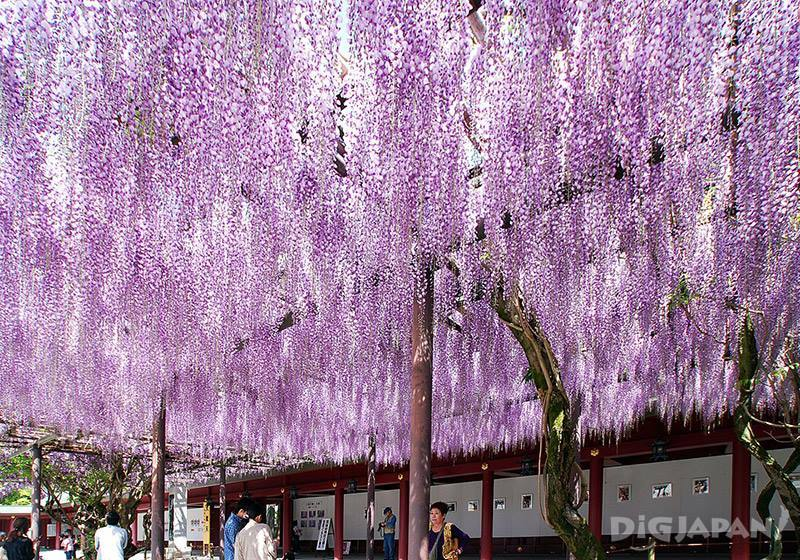 笠間稻荷神社的藤2