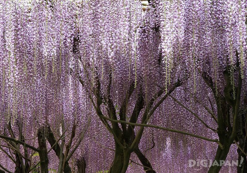 笠間稻荷神社的藤4