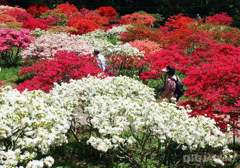 笠間杜鵑花祭2