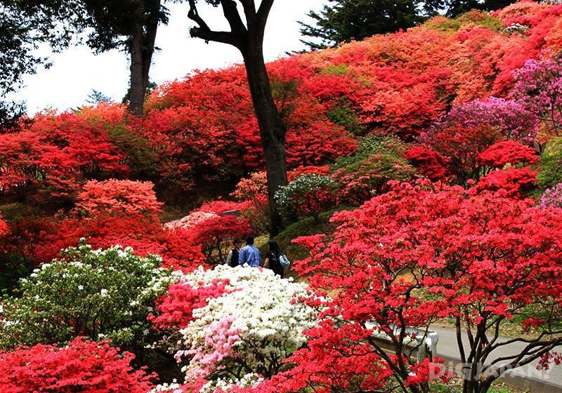 笠間杜鵑花祭6