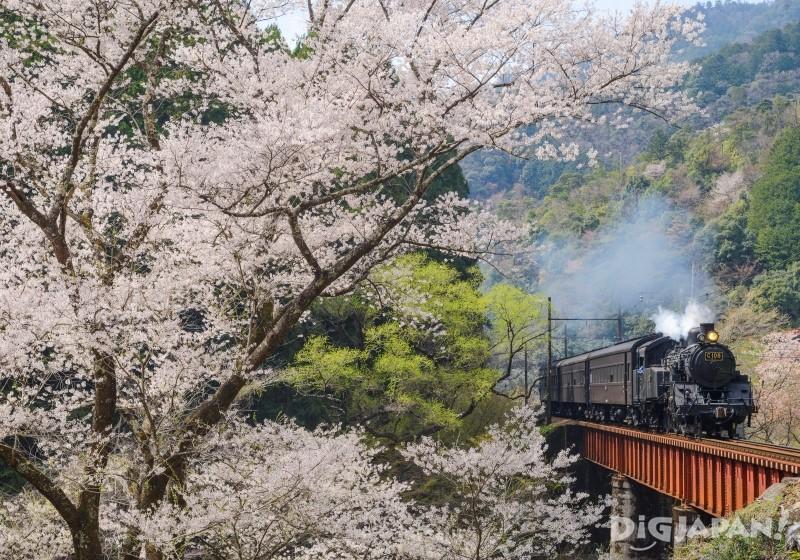 大井川鐵道家山站周邊是賞櫻名所
