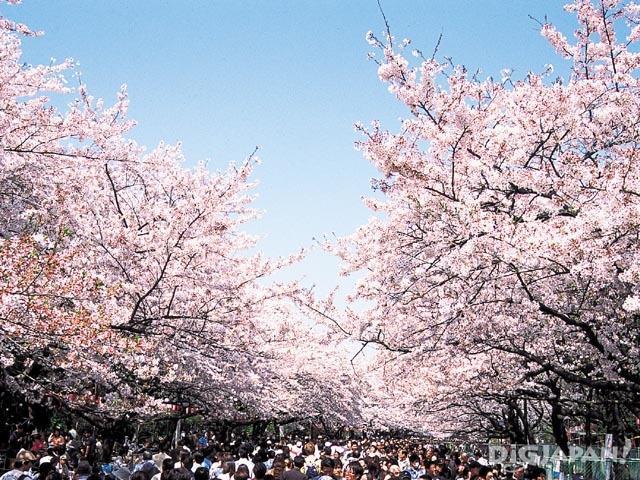 東京の桜名所(23区)